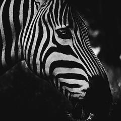 Aluminium Prints Zebra in Black and White