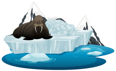Isolated picture of walrus on ice