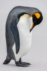 King Penguin - Volunteer Point - Falkland Islands