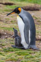 King Penguin and chick - Volunteer Point - Falkland Islands