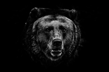 a darkened image, a stern brown slightly perplexing beast looks out of the darkness with small eyes. black and white photo isolated on a black background.