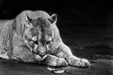 Pensive portrait, symbol of heavy thought, head down on its paws. Powerful big american wild puma cat . black and white photo.