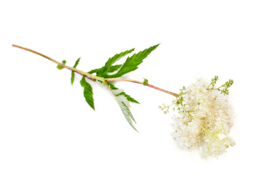 Filipendula ulmaria (meadowsweet or mead wort) plant isolated on a white background