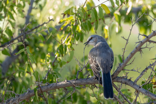 Mocking bird perched on a mesquite tree branch in Arizona