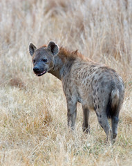 Portriat of a spotted Hyena standing in the dry yellow grass on the African plains in Hwange National Park, Zimbabwe