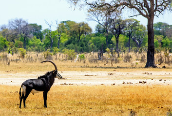 Beautiful Male Sable Antelope with long ridged horns standing on the African plains in Hwange National Park, Zimbabwe.  Sable Antelopes are