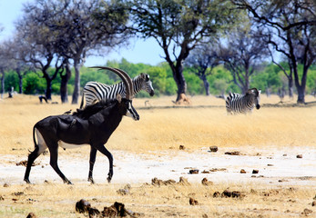 Male Sable Antelope walking across the dry yellow grass on the African savannah with zebras in the background.  Hwange National Park, Zimbabwe.  There are two oxpeckers on his back