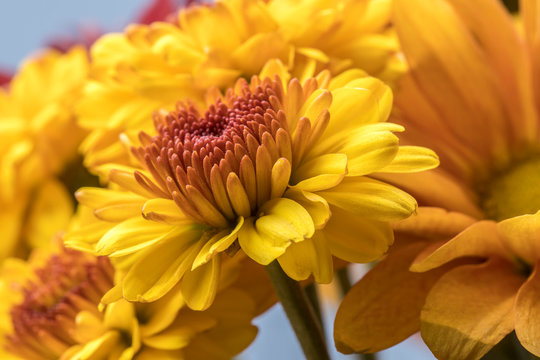 Bouquet of yellow mum flowers.