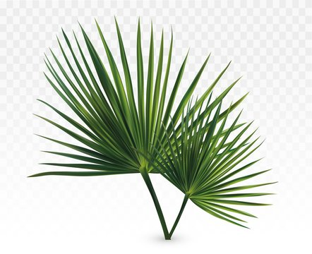 3d realistic green palm leaves. Tropical palm leaves isolated on transparent background. Leaves close up. Vector illustration