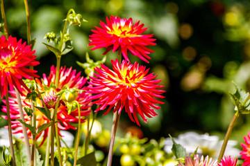 Blooming Dahlias