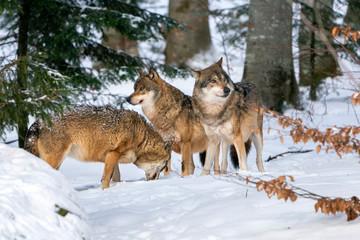 Photo sur Plexiglas Loup grey wolf in the snow