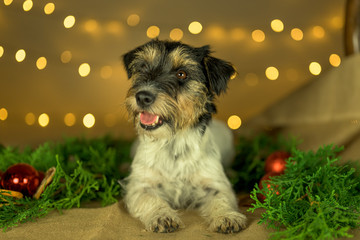 Cute little cute Jack Russell Terrier dog lies at Christmas between green branches and Christmas balls.