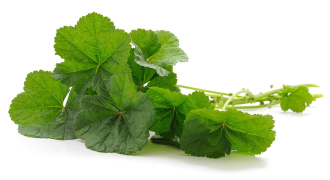 Green leaves of malva.