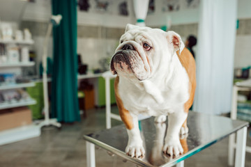 Image of a cute English bulldog at veterinarian office.