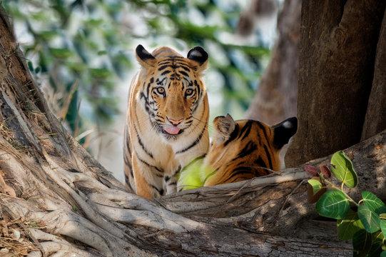 Two young Bengal tigers (Panthera tigris tigris), Tadoba Andhari Tiger Reserve, Maharashtra state