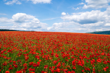 Red poppies set in the Derbyshire countryside, Baslow, Derbyshire, England, United Kingdom, Europe