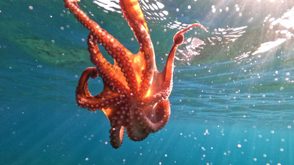 Underwater split photo of octopus swimming in tropical exotic rocky seascape with emerald clear sea