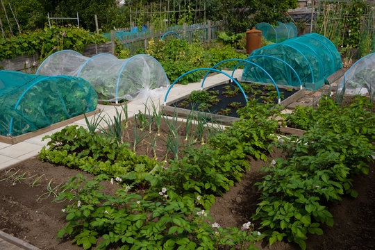 Potatoes, onions, brassicas and strawberries growing on wel-kept allotment