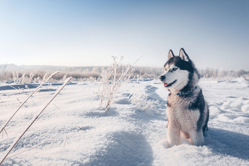 Siberian husky with blue eyes sits on the snow