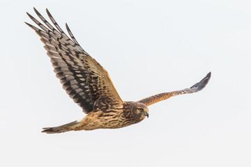 A Female Northern Harrier Hawk Hunts in a Pale Blue Sky Fototapete