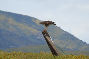 Red-tailed hawk feasting on a rodent, Carrizo Plain, San Luis Obispo County, California.