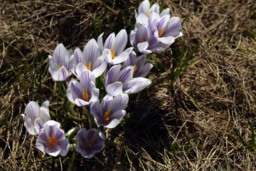 close-up of a cluster of white and purple crocus