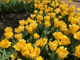 patch of bright yellow tulips