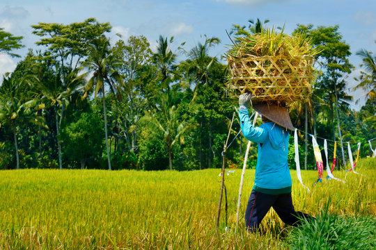 Balinese worker with bamboo hat harvesting rice, in  rice field