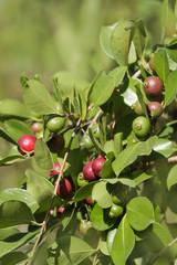 Erdbeer-Guave - Psidium Cattleianum  - Zweig