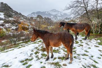 Caballos en los pastos nevados de montaña de la Cordillera Cantábrica. Comarca de Riaño, León, España.