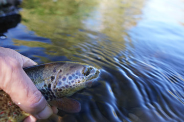 taking a big brown trout in the fly