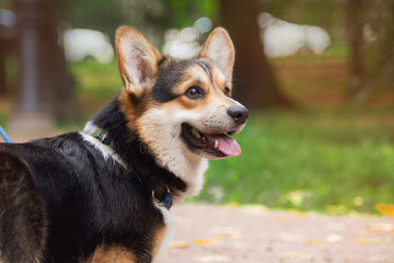 Welsh corgi pembroke sitting on a trunk looking up smiling