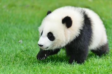 Fotobehang Panda ハイハイする赤ちゃんパンダ