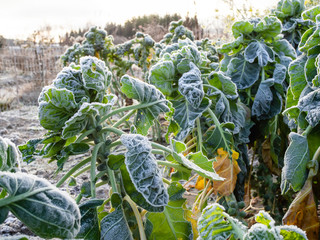 Photo sur Toile Bruxelles Brussels sprouts, Brassica oleracea var. gemmifera, covered by frost, still standing in a November garden in Helsinki, Finland