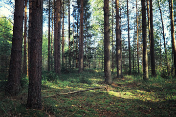 Foto op Canvas Olijf Bright spring greens at dawn in the forest. Nature comes to life in early spring.