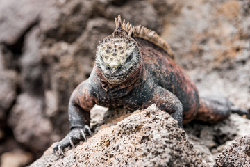 galapagos marine iguanas sits on a black volcano stone near the sea of galapagos island Isabela, with its many spines, the lizard looks like a dinosaur, a primeval monster in the Pacific wilderness