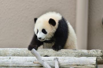 Autocollant pour porte Panda パンダの赤ちゃん