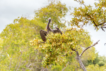 Brown Pelican in the Galapagos Islands sits on a mangrove tree in the National Park of the archipelago on Isabela Island, completely undisturbed wilderness and a natural paradise for wild sea birds