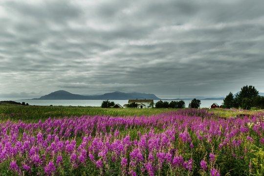 Beautiful shot of a field full of pink English lavender flowers in Lofoten, Norway