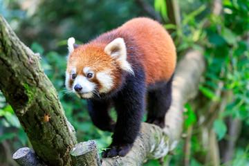 Poster Panda レッサーパンダ