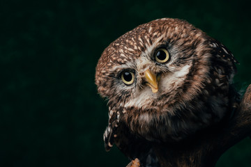 brown cute wild owl on wooden branch isolated on black with copy space