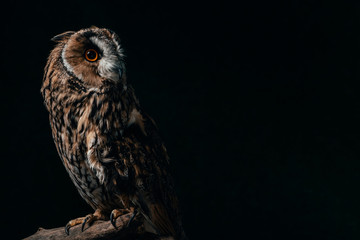 wild owl sitting in dark on wooden branch isolated on black with copy space