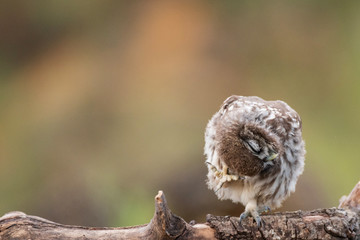 Fototapete - Young Little owl, Athene noctua, stands on a stick on a beautiful background