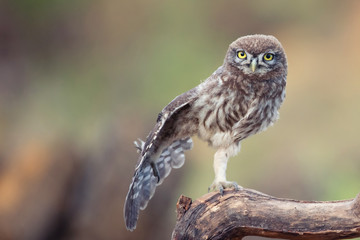 Fototapete - Young Little owl, Athene noctua, stands on a stick and spreads its wing