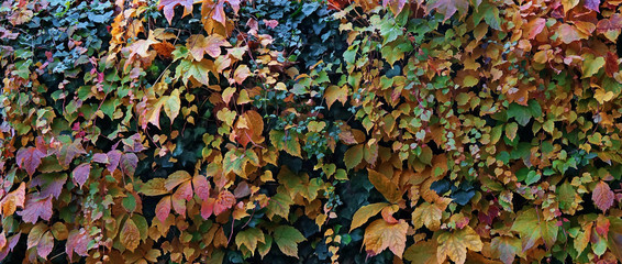 Beautiful autumn colors, vines and ivy