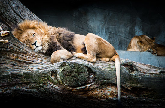 Sleeping African lion family relaxing on a tree with beautiful background stone full of shades and strong blue color