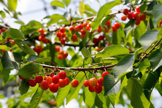 Cherry branch ready for cherry picking