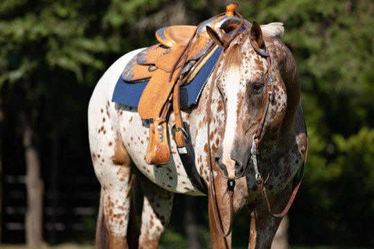 Appaloosa Headshot