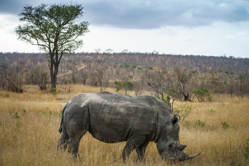 Poster de jardin Rhino white rhinos in kruger national park, mpumalanga, south africa 49