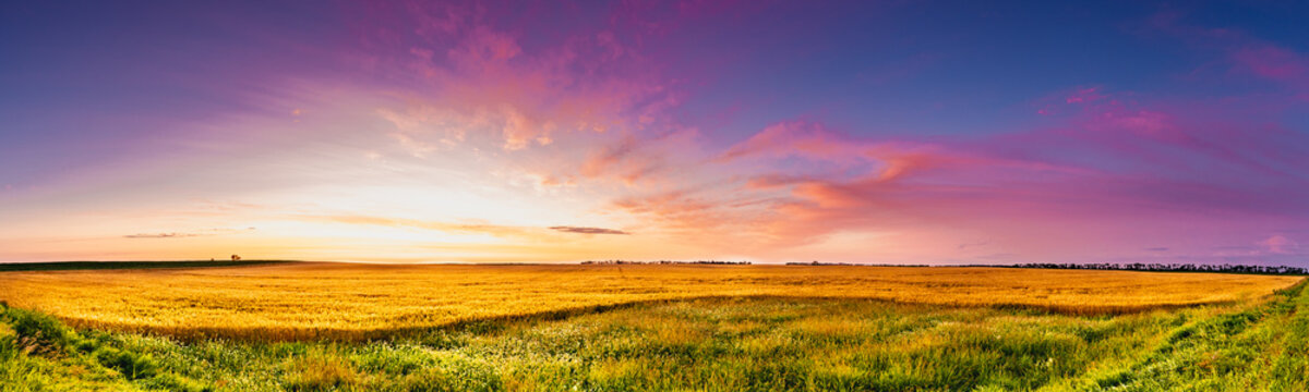 Sunrise of magenta clouds and deep blue sky over a North Dakota golden wheat field